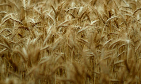 wheat in Australia