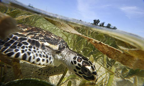 week in wildlife : A four-month old hawksbill turtle swims at Thousand Islands National Marine Park