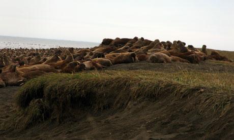 Walrus high on the barrier Island beaches near Pt Lay, Alaska, 2010