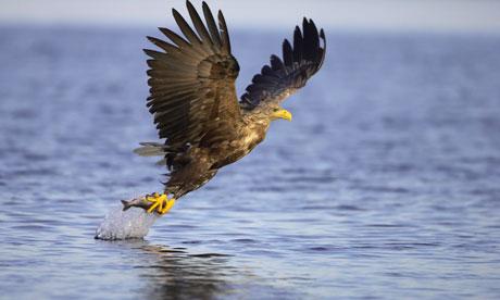 Biodiversity 100 UK: White-tailed eagle