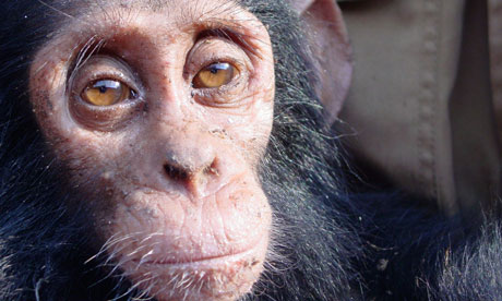 Orphaned Chimpanzees: Trade and Bushmeat in Democratic Republic of the Congo
