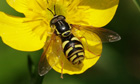 Name a Species : Chrysotoxum elegans