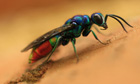 Name a species competition : Chrysis fulgida