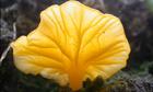 Name a species competition : Lichenomphalia alpina