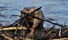 A wet adult beaver carrying a load of sticks up on his dam to stop a water leak.