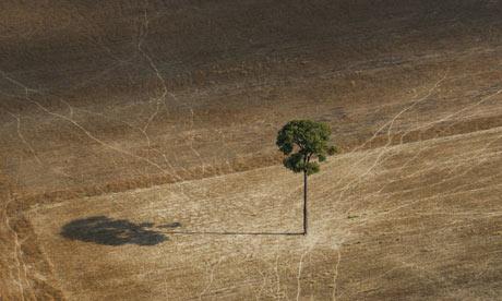 A lone Brazilian nut tree stands in a soy field