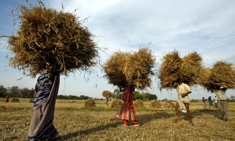 armers carry wheat crop bundles at Kisari village, near Allahabad in India