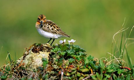 100 most endangered birds : Spoon-billed Sandpiper