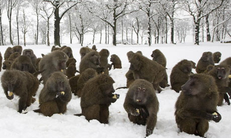Winter weather: Baboons at Knowsley Safari Park