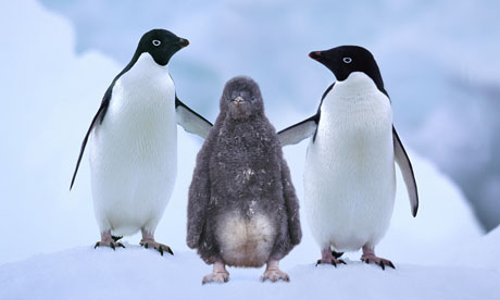 Two Adelie penguins with a chick. The abuse of the young was something which shocked Levick.