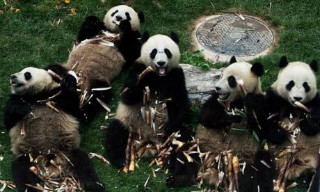Chinese earthquake: Pandas eating bamboo