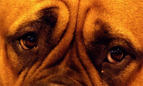 Dogs eyes, Guardian