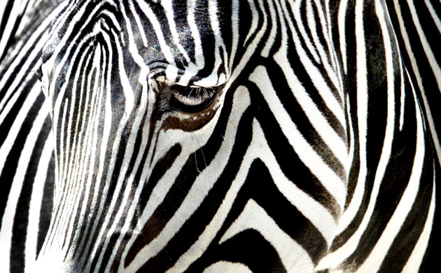 Gallery Black and white animals: A zebra at the Frankfurt zoo