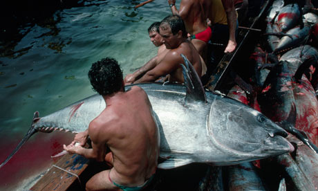 Fisherman land a bluefin tuna