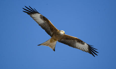Red Kite - photo courtesy of the Guardian
