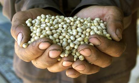 GM soya beans
