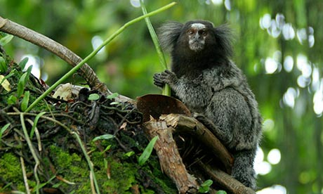 new marmoset species found in Amazon