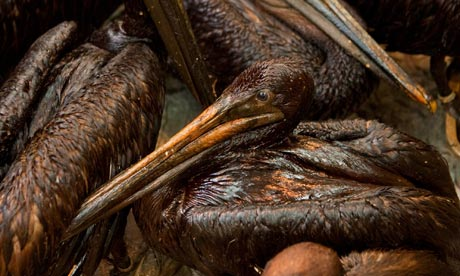 Oil-soaked pelicans huddle in a cage at a research centre in Buras, Louisiana