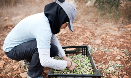 Palestinian woman harvesting olives in the West Bank