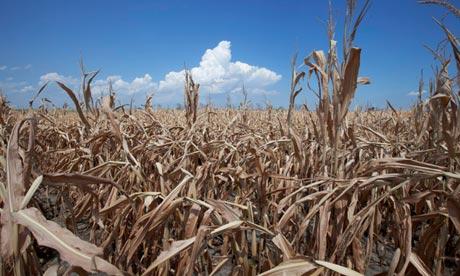 A field of dried corn plants near Percival, Iowa