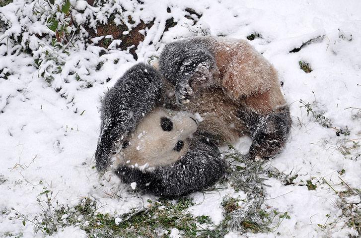 Week in wildlife: Panda playing in snowy enclosure, Kunming city, China