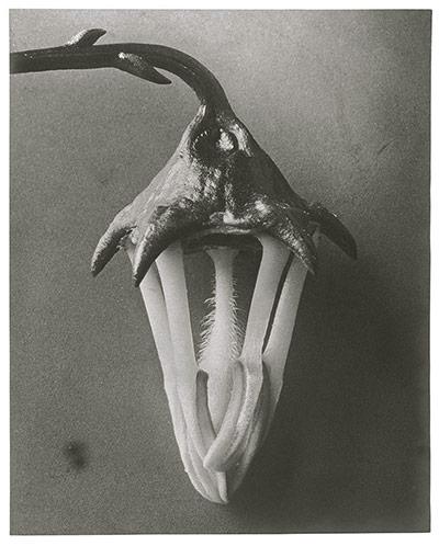 Karl Blossfeldt: Azorina - blossom (petals removed)