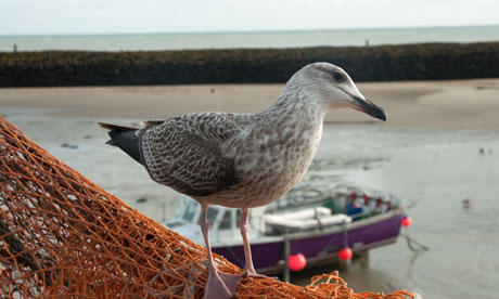 Seagull (Larus occidentalis) on the harbour at Folkestone town, Kent, England, UK