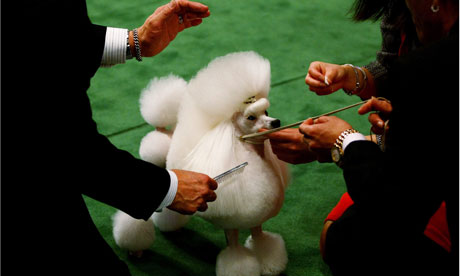 Poodle at Westminster dog show