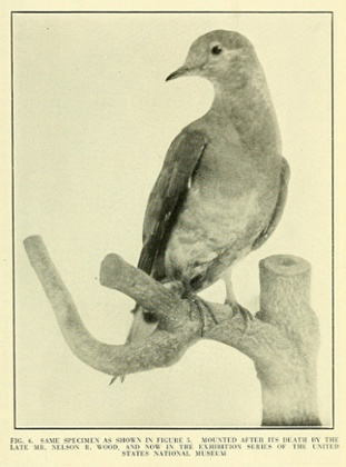 Martha, as rendered by the Smithsonian's taxidermist Nelson Wood. Photograph: Robert Shufeldt/Internet Archive