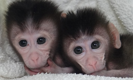 The twin cynomolgus monkeys born