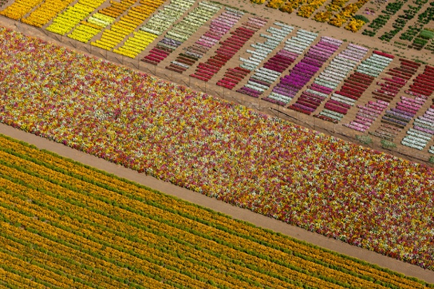 Flower fields, Lompoc, california, USA 2013