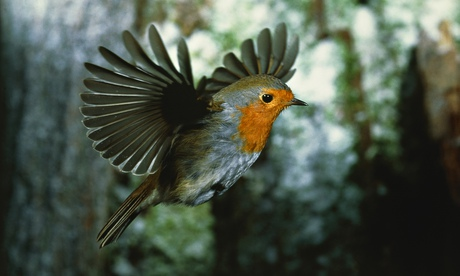 A European robin in flight