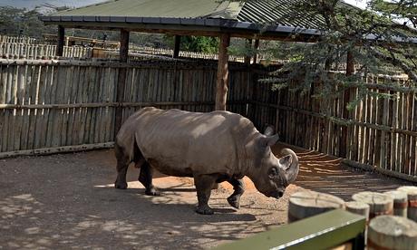 Sudan northern white rhino