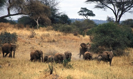 Chinese demand is stipping Tanzania of its elephants : herd in in Tarangire National Park