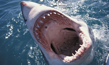 A great white shark … look out for one near Britain soon.