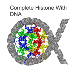 The DNA double helix wrapped around four histone proteins, in a structure called a nucleosome.