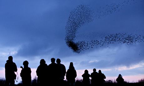 birdwatchers gather to watch the murmuration of more than 50,000 starlings at Middleton Moor