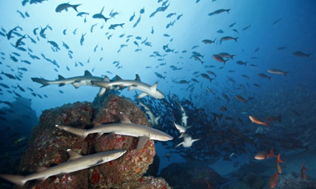 School of Whitetip reef sharks hunting , Cocos island, Costa Rica