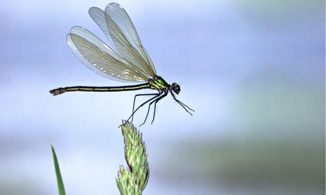 Beautiful Demoiselle Damselfly (Calopteryx virgo) female taking off