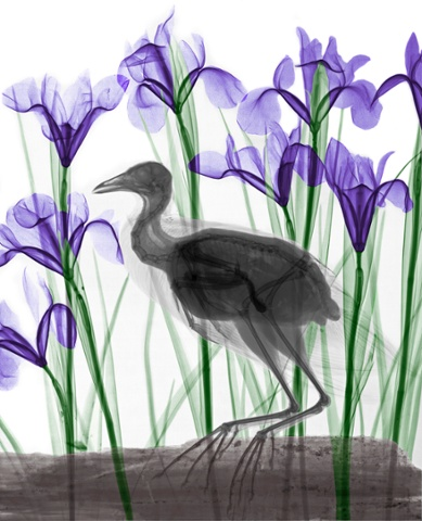 Coloured X-ray of a coot and iris flowers.