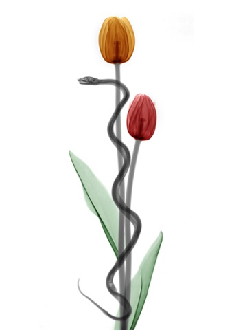 A coloured X-ray of a snake winding around two tulips.