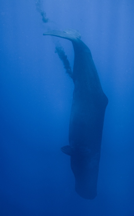 A defecating sperm whale off the coast of Sri Lanka.