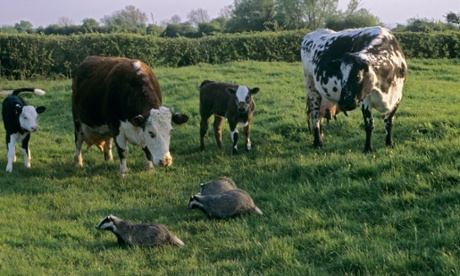 Badgers and cattle in a field on a UK farm.