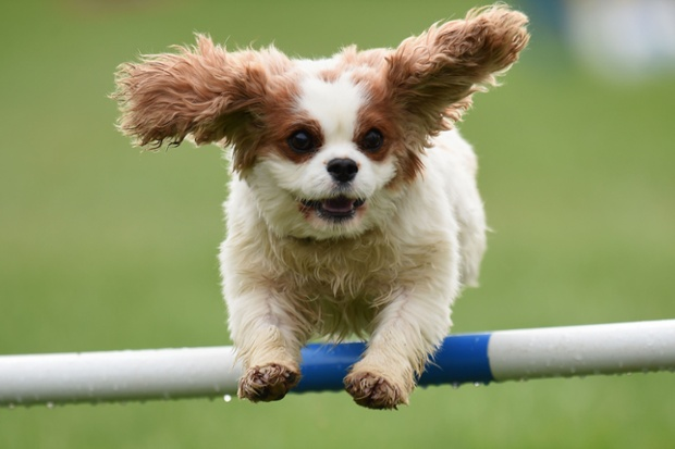 Flying high: A dog takes part in an agility skills test during the International Agility Festival at Rockingham Castle in Leicestershire.