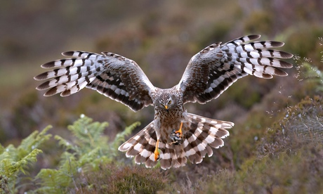 hen harrier (Circus cyaneus), adult female landing with a prey, United Kingdom, Scotland, Sutherland