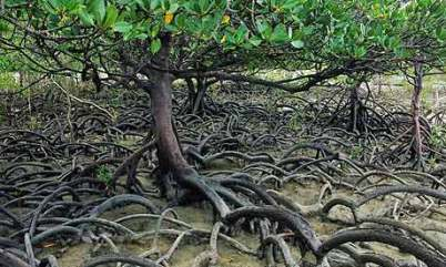 https://i1.wp.com/static.guim.co.uk/sys-images/Guardian/Pix/red/blue_pics/2008/02/01/mangrove460.jpg?resize=402%2C241