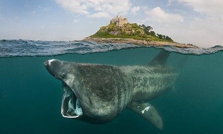 Basking shark 008 - 10 Jenis Ikan Hiu Terbesar Di Dunia