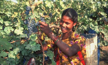 Indian woman picking grapes (photo courtesy of static.guim.co.uk)