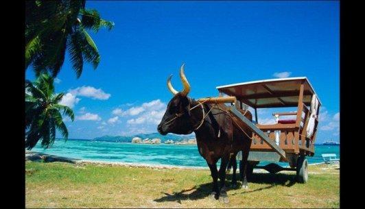 Boul-taxi, tipul mijloc de transport din Insulele Seychelles (Fotografie de pe Traveller).