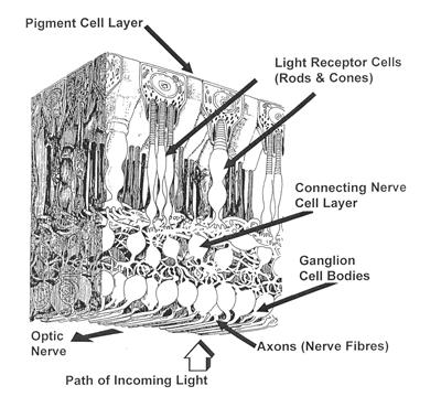 amacrine cells retina